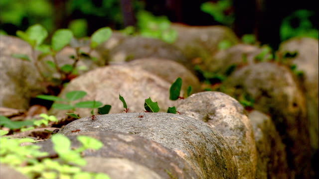 leaf cutter ants walk single file carrying leaf pieces. - costa rica stock videos & royalty-free footage