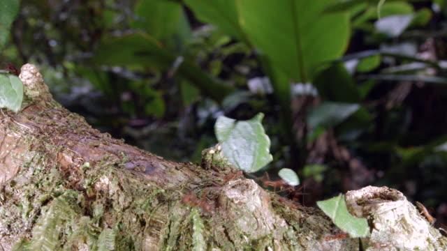 vídeos de stock e filmes b-roll de leaf cutter ants (atta sp.) walking along a branch above a rainforest stream in the ecuadorian amazon. - saúva da mata