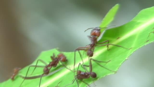 vídeos de stock e filmes b-roll de folha de trabalho de formigas - saúva da mata