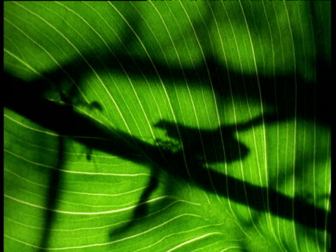 Leaf cutting ants carrying foliage behind green leaf causing shadows