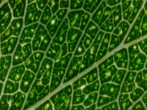 ecu leaf detail with veins, botswana, africa - intricacy stock videos & royalty-free footage