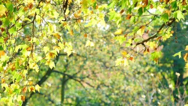4k leaf fall in autumn, hyde park, london - branch stock videos & royalty-free footage