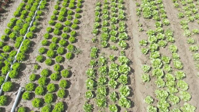 Blatt-Salatfeld im Sommer Überführung