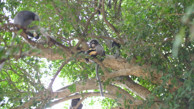 leaf monkey eating on tree in tropical rainforest - tropical tree stock videos & royalty-free footage