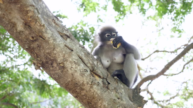 leaf monkey eating on tree in tropical rainforest - animals in the wild stock videos & royalty-free footage