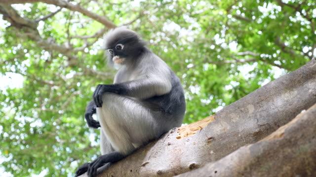vídeos de stock e filmes b-roll de leaf monkey sitting on tree in tropical rainforest - animal hair