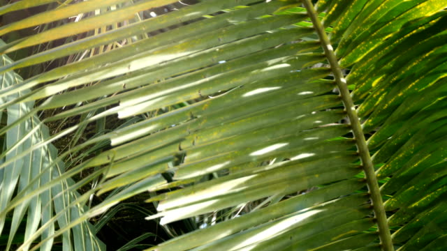 Leaf of Coconut
