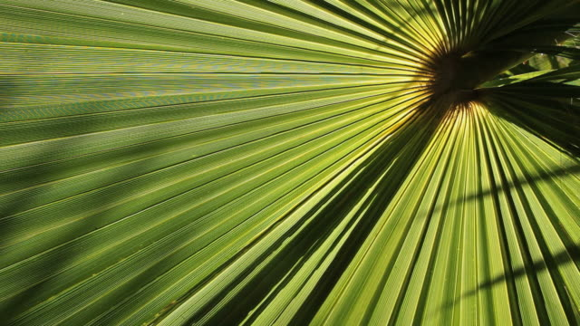cu leaf of date palm tree / mallorca, balearic islands, spain  - palm leaf stock videos & royalty-free footage