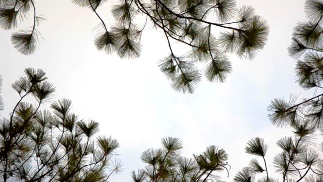 vídeos y material grabado en eventos de stock de hoja de un árbol de pino - pinaceae