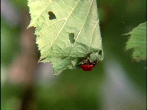 vídeos y material grabado en eventos de stock de leaf rolling weevil (apoderus coryli) beetle, on partly rolled-up leaf-nest, england - escarabajo de cuerno largo