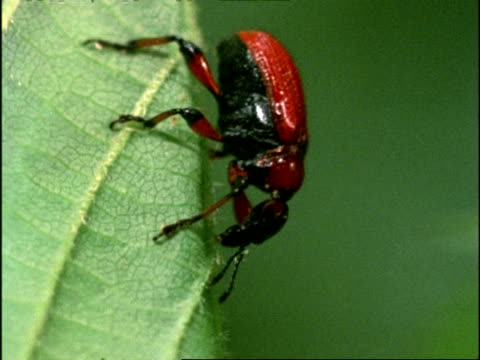 vídeos y material grabado en eventos de stock de leaf rolling weevil (apoderus coryli) beetle, walks slowly down leaf, england - escarabajo de cuerno largo