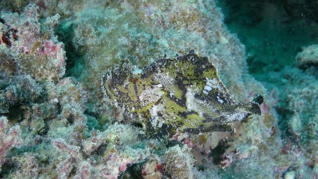 leaf scorpion fish swimming - drachenkopf stock-videos und b-roll-filmmaterial