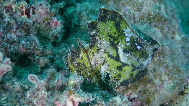 Leaf scorpionfish swimming in Ishigaki Island, Okinawa, Japan