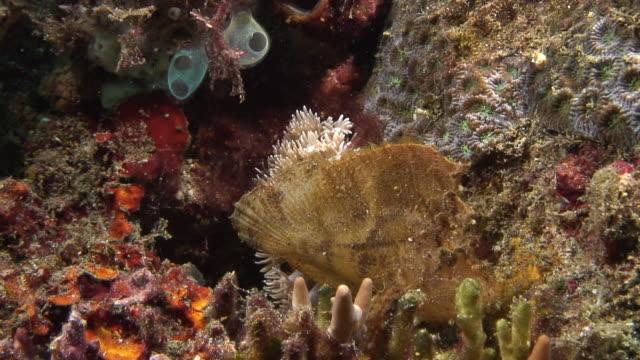 leaf scorpionfish - drachenkopf stock-videos und b-roll-filmmaterial