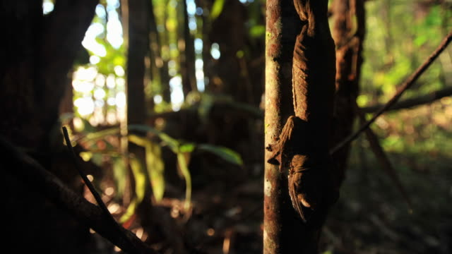 leaf tailed gecko (uroplatus) clings to tree trunk in forest as sun sets, madagascar - upside down stock videos and b-roll footage