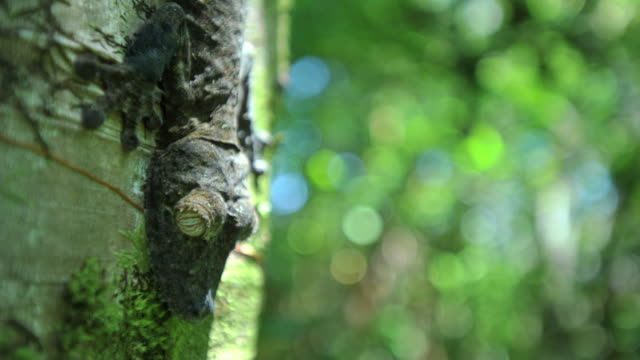 Leaf tailed gecko (Uroplatus) clings to tree trunk in forest, Madagascar