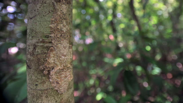 leaf tailed gecko (uroplatus) clings to tree trunk in forest, madagascar - disguise stock videos & royalty-free footage