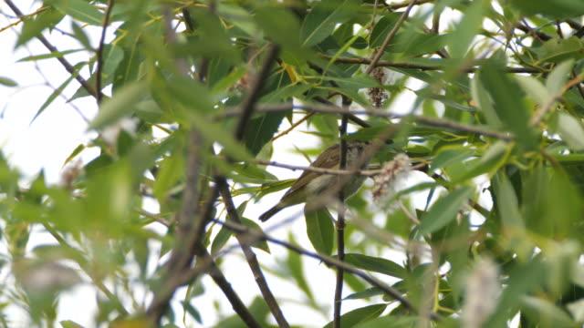 葉のウグイス、キンガン自然保護区 - ムシクイ類点の映像素材/bロール