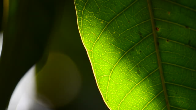 leaf with light - lobe stock videos & royalty-free footage