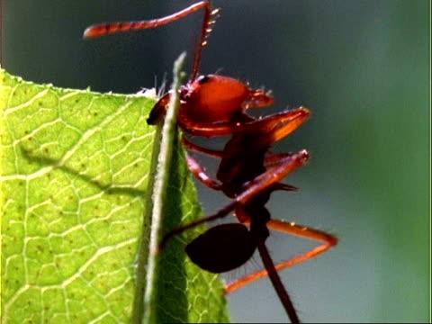 vídeos de stock e filmes b-roll de leafcutter ant, cu ant cutting leaf; panama; - saúva da mata