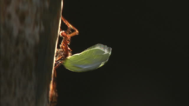 a leafcutter ant carries a section of leaf. - ant stock videos & royalty-free footage
