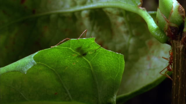 a leafcutter ant cuts a leaf. available in hd. - leaf cutter ant stock videos and b-roll footage