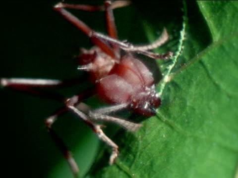vídeos de stock e filmes b-roll de leafcutter ant cutting leaf w/ mandibles opening closing like garden shears south america central america nature insect - saúva da mata