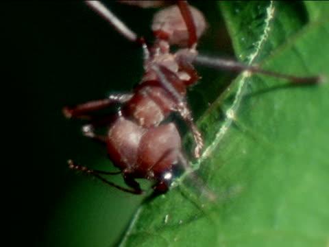 vídeos de stock e filmes b-roll de leafcutter ant cutting leaf w/ mandibles opening closing mandibles like garden shears south america central america nature insect - saúva da mata