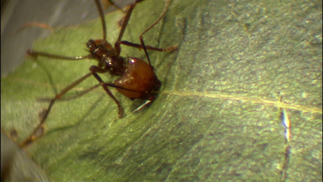 a leafcutter ant gnaws at the center vein of a leaf. - leaf vein stock videos and b-roll footage