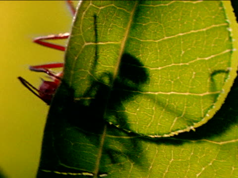 vídeos de stock e filmes b-roll de leafcutter ant shadow on leaf w/ large arch cut into leaf leafcutter legs partially visible over left edge of leaf - saúva da mata