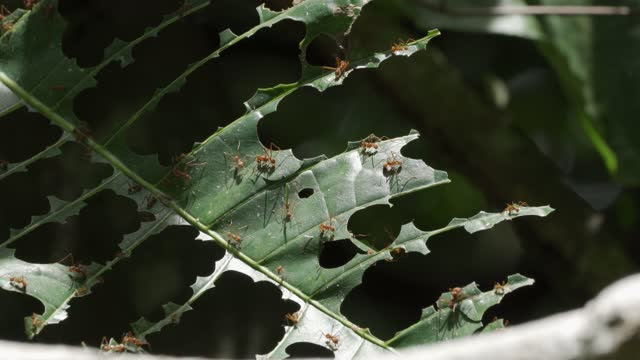 leafcutter ant - costa rica stock videos & royalty-free footage