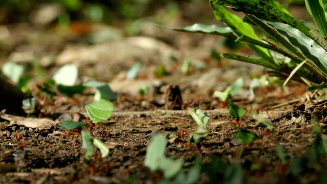 Leafcutter ants carry pieces of leaves