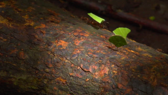 cu leafcutter ants carrying leaves, monteverde, costa rica - man made stock videos & royalty-free footage