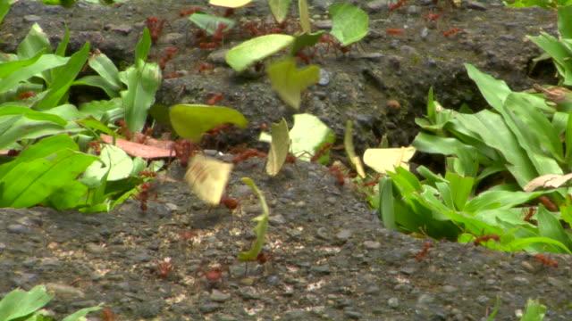 stockvideo's en b-roll-footage met cu leafcutter ants carrying leaves, monteverde, costa rica - mier