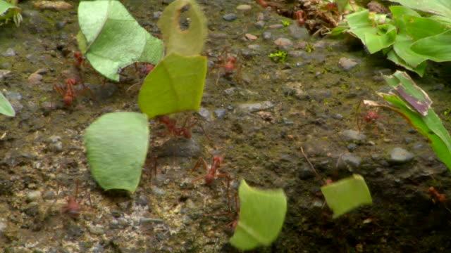 vídeos de stock e filmes b-roll de cu leafcutter ants carrying leaves, monteverde, costa rica - saúva da mata