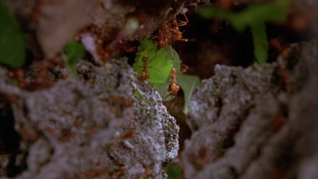 leafcutter ants crawl over a fungus garden. available in hd. - fungus stock videos and b-roll footage