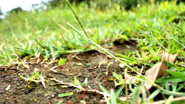 vídeos de stock e filmes b-roll de leafcutter ants from costa rica - saúva da mata