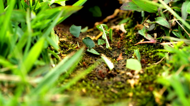 leafcutter ants from costa rica - symbiotic relationship stock videos & royalty-free footage