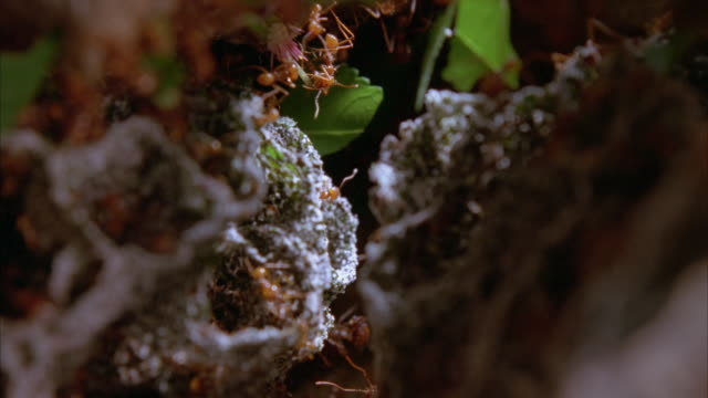 leafcutter ants hang from leaves above a fungus garden. available in hd. - leaf cutter ant stock videos and b-roll footage