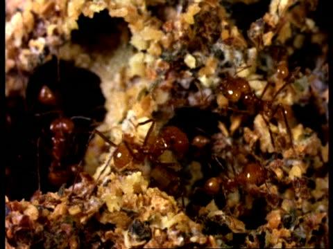 vídeos de stock e filmes b-roll de ms leafcutter ants, in fungus garden nest, high angle view, costa rica - saúva da mata