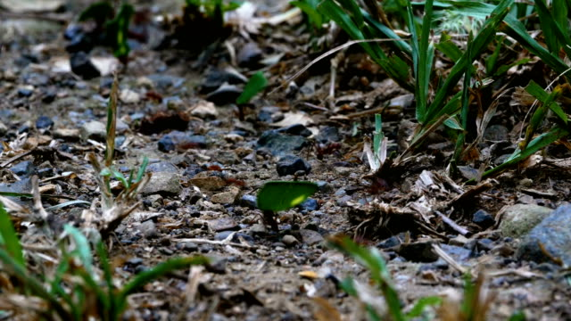 Leafcutter Ants moving leaves across forest floor