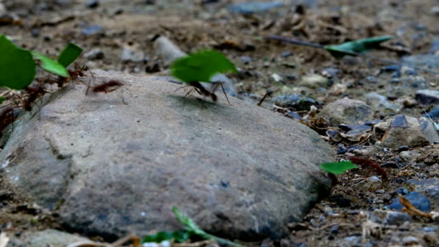 leafcutter ants moving leaves across forest floor - costa rica stock videos & royalty-free footage