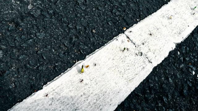 Blattschneiderameisen über den asphalt