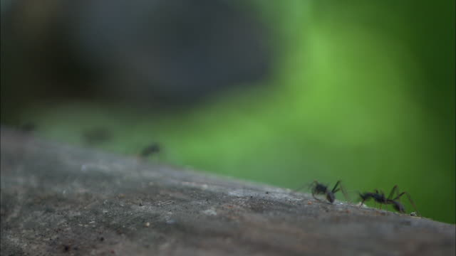 leafcutter ants scurry back and forth across a  log. - log stock videos & royalty-free footage