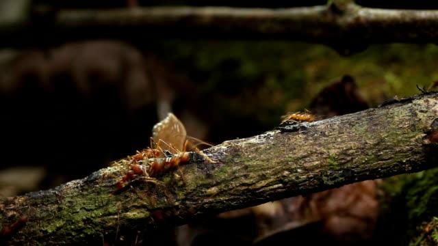 vídeos de stock e filmes b-roll de leafcutter ants - saúva da mata