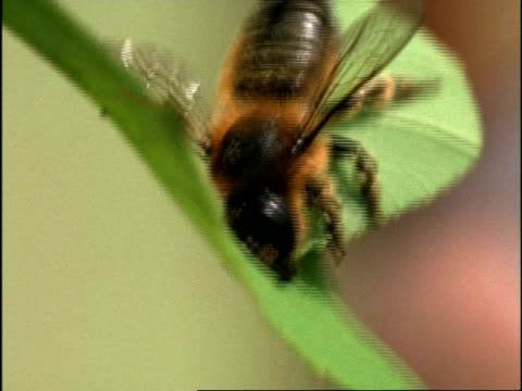 vídeos de stock e filmes b-roll de cu leaf-cutter bee (megachile) cutting section from leaf, uk - tosquiar