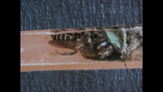 ms leafcutter bee nest hole entrance cu cross section tunnel w/ bee carrying cut leaf to add to cocoon ms nest hole entrance bee at edge flying away... - kokon stock-videos und b-roll-filmmaterial
