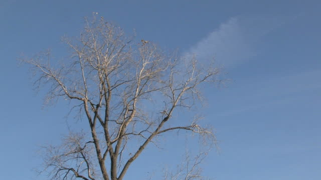 leafeless tree and blue sky - hd 1080/30f - bare tree stock videos & royalty-free footage
