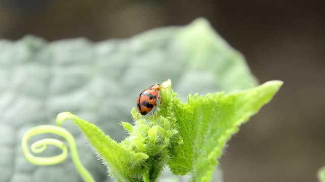 Leaf-utfodring ladybird skalbagge