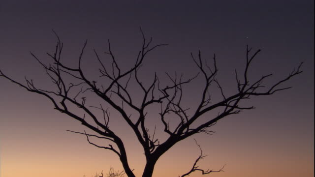 A leafless tree silhouetted by the dawn sky, New South Wales. Available in HD.